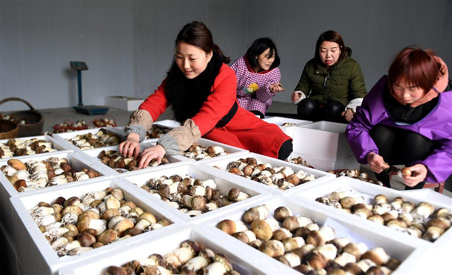 西乡食用菌种植促增收